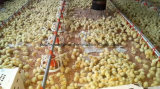 Automatic System Poultry Pan Feeder for Broiler Chicken