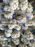 High Quality Fresh Chinese 5.0-5.5cm Garlic