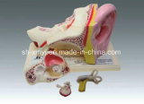 Xy-3310-5 Human Ear (anatomical model)