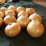 The Newest Yellow Onion with Good Price for Exporting