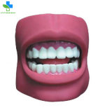 Educational Human Life Size PVC Tooth Anatomical Model with Cheek