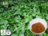 Hederacosid C 5%, 10% by HPLC IVY Extract