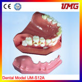 Dental Products Dental Study Model High Quality Dental Teeth Model