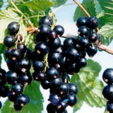 Black Currant Extract, 10%, 15%, 25% Anthocyanidins UV