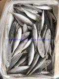 IQF Frozen Horse Mackerel Fish 60-80 Hot Sales