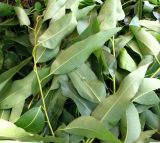 Eucalyptus Leaf Extract with Best Price