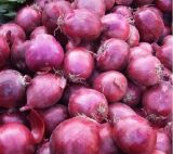 2020 New Crop Pollution Free Organic Fresh Red Onion Purple