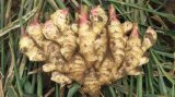 High Quality Chinese Fresh Ginger