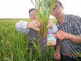 Unigrow Water Soluble Fertilizer on Rice Planting