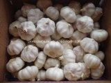 Fresh Normal White Garlic Price in China
