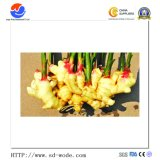 Wholesale Export Fresh/Dried Ginger Chinese Ginger Yellow Ginger Price