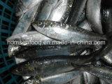 Whole Fround Frozen Sardine Fish (Sardinella aurita)