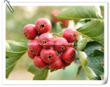 Manufacturer Chinese Hawthorn Fruit Extract Powder / Chinese Hawthorn