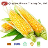 Frozen Sweet Corn Cobs with High Quality