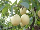 New Crop Ya Pear with Great Quality