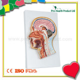 Anatomical Plastic Human Head Model