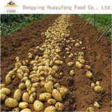 Certified Gap Premium Quality China Fresh Potato Export