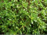 High Quality Purslane Extract Powder