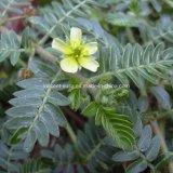 P. E. 60% Total Saponins, Tribulus Terrestris Extract, Plant Extract