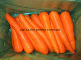 Seller Chinese Good Quality Fresh Red Orange Carrot