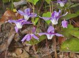 5: 1 Epimedium Extract, Barrenwort Extract