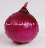 Red and Yellow Onion in Good Quality