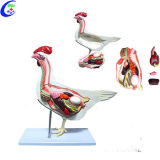 Cheap Medical Animal Anatomical Model