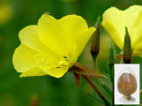 GMP Supplier Evening Primrose Extract for Pharmaceutical Intermediates