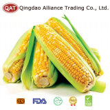 IQF Sweet Corn COB with High Quality