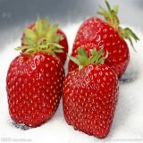 Cao Mei Agriculture Supply Strawberry Seeds Bulk for Planting