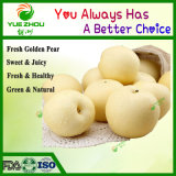 Hot Sale Fresh Golden Pears From China with Cheaper Price