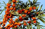Anti-Oxidiant Sea Buckthorn Seed Oil; Hippophae Rhamnoides L