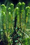 Huperzia Serrata Extract Powder Huperzine a; CAS 102518-79-6