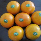 Super Fresh Navel Orange at Competitive Price