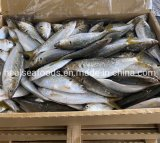 Frozen White Dotted Gizzard Whole Shad Fish