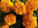 Fresh Cut Marigold Flowers/Calendula Lutein Powder Extract/Natural Lutein, Zeaxanthin