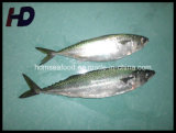 Frozen Mackerel Fish Whole Round Frozen Seafood for Sale (Scomber japonicus)