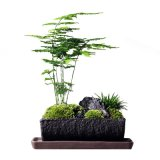 2020 Wholesale Natural Real Indoor Plant Asparagus Setaceus with High Quality/Good Shape