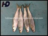 Frozen Seafood Sardine Fish for Market (Sardinella aurita)