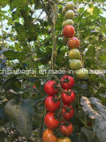 Green House Tomato Packing Twine
