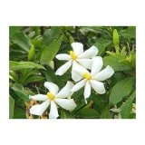 Natural Gardenia Jasminoides Ellis Extract Geniposide10- 98%