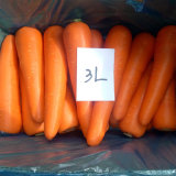 Fresh Carrot, Red Carrot, Chinese Carrot