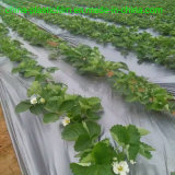 Agricultural Plastic Poly Cover Film with Silver and Black / 30 Microns Strawberry Mulch Film