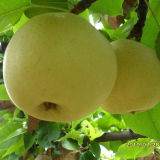 Good Quality of Chinese Fresh Golden Pear