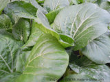 Unigrow Microbial Organic Fertilizer on Leaves Vegetable Planting