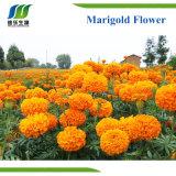 Lutein Herbal Marigold Flower Extract (LT 5%)