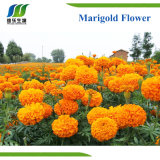 Natural Plant (Botanical) Extracts, Herbal Marigold Flower Extract (LT 5%)