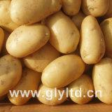 Exported Quality of Fresh Holand Potato