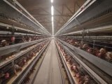 Waterline Sterilzing or Cleaner Used for Poultry Farms
