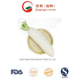 Top Quality New Crop Fresh White Radish Fresh Green Vegetables